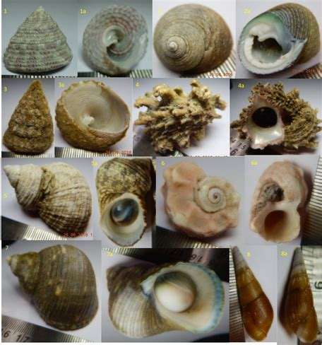 Distribution of Gastropods in the Intertidal Environment